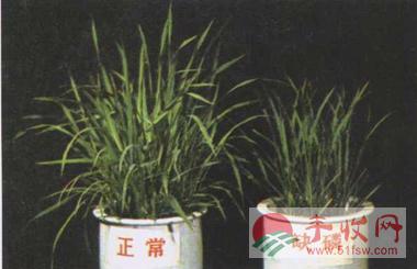 作物缺素图谱-水稻缺磷